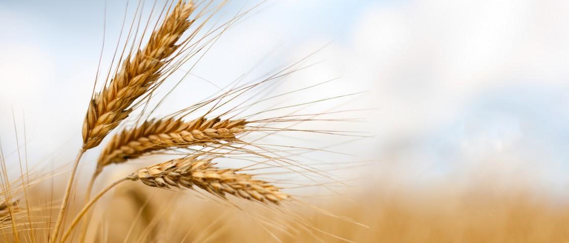 Close up of ripe wheat ears